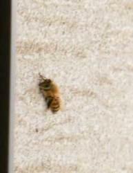 昨夜からストーンスパ・ガイアに泊まっている西洋ミツバチ