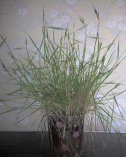 2010年_0301撮影の小麦の生長・ガイアの自然栽培小麦種子使用です。