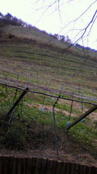 ブドウ畑.jpg