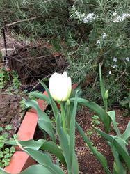 ガイアガーデンのチューリップ開花