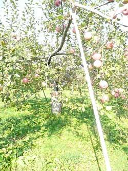岩盤浴ガイア・木村秋則さんのりんごの木