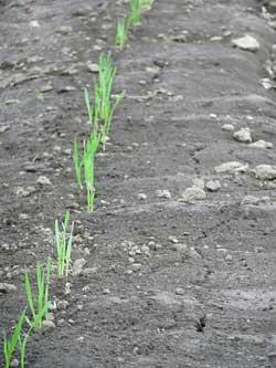 岩盤浴ガイア・小麦の芽