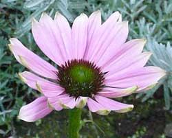 岩盤浴ガイア・エキナセアの花