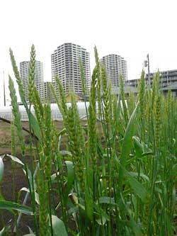 岩盤浴ガイアの自然栽培の畑の小麦