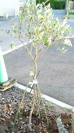 岩盤浴ガイアの無農薬栽培のオリーブ