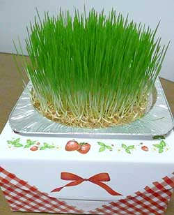 ガイアで収穫した自然栽培の小麦を使った。小麦若葉のクリスマスケーキ