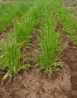 自然栽培のStone Spa ガイアの畑の小麦です。