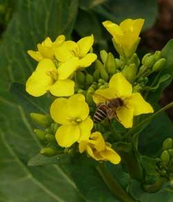 小松菜の花と蜜蜂by Stone Spa GAIAの自然栽培の畑
