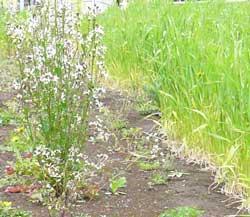 左←アンギュラロケットの花 右→自然栽培の小麦2010年4月20日現在