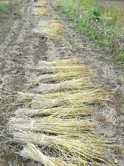 Stone Spa GAIA 自然栽培の小麦を刈り取りました。