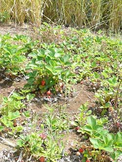 柏のオーガニック女性専用岩盤浴ストーンスパ・ガイアの畑の自然栽培イチゴです!