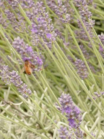 ガイアガーデン中庭のラベンダーにやって来たミツバチ by 柏のオーガニック女性専用岩盤浴ストーンスパ・ガイア