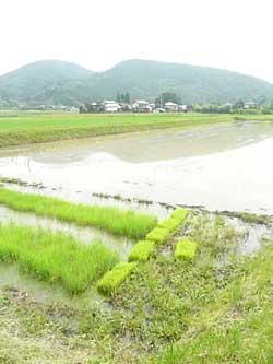 埼玉県小川町の無農薬の田んぼです。by Stone Spa GAIA
