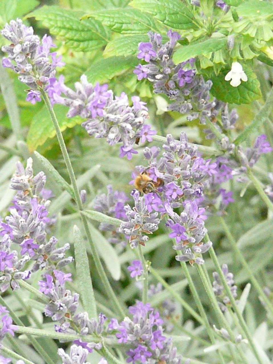 ラベンダーとミツバチ by Stone Spa GAIA