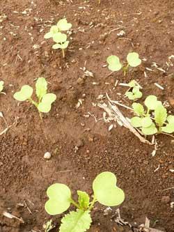 ガイアの自然栽培の畑に『自然生え(じねんばえ)』の発芽した宮重大根です。