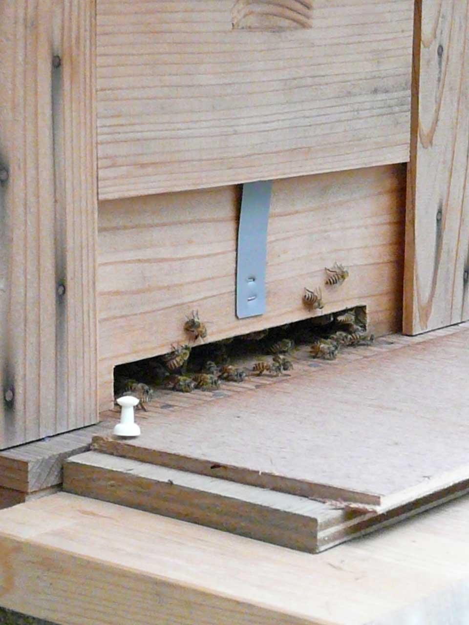 日本ミツバチの巣、入り口付近の様子です。 by Stone Spa GAIA