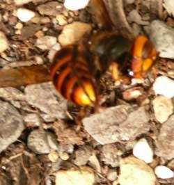 取り囲まれて熱殺したオオスズメバチ by Stone Spa GAIA