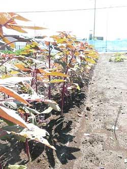 自然栽培のアマランサスです。 by Stone Spa GAIA