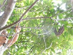 木に登って蜂球した枝を切るところです。 by Stone Spa GAIA