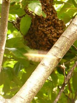栗の木に蜂球した西洋ミツバチ by Stone Spa GAIA