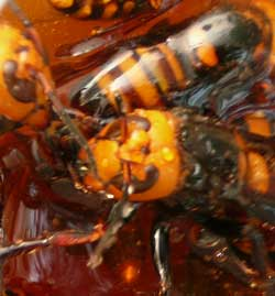 捕獲したオオスズメバチです。 by Stone Spa GAIA