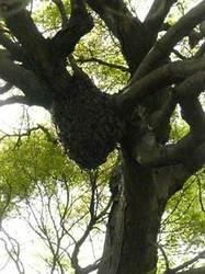 柏の葉の自宅庭の自然分封の蜂球