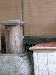 丸太洞の待箱に入る日本みつばち達