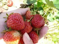 自然栽培の畑でいちごの収穫
