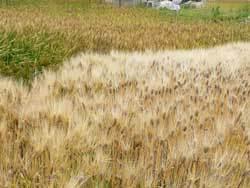 自然栽培1年目の大麦と小麦