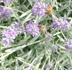 ガイア中庭に来ている西洋ミツバチと日本みつばち.jpg