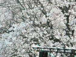 gaiaガーデンから見える桜