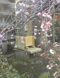 日本みつばちとしだれ桜 by Stone Spa GAIA