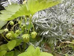 GAIAガーデンの自然栽培のいちご