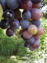 SN3C1181自宅の庭で収穫した葡萄は、いかがですか!by柏のオーガニック女性専用岩盤浴 ストーンスパ・ガイア