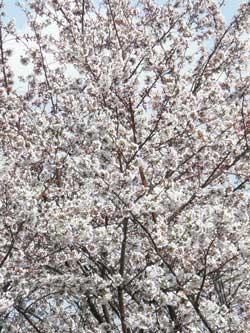 p101-01103-sakura.jpg