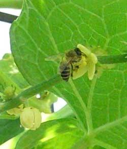 ハヤト瓜の花に来た日本ミツバチです。日本ミツバチの方が色が地味です。