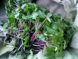 流山の畑でソバ間引き 千葉県柏で岩盤浴と自然栽培をとして健康をお届けします。柏の女性専用岩盤浴ストーンスパ・ガイア